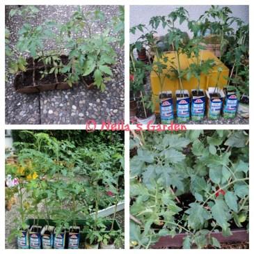 9 Pohon Tomat dari kantor Suami