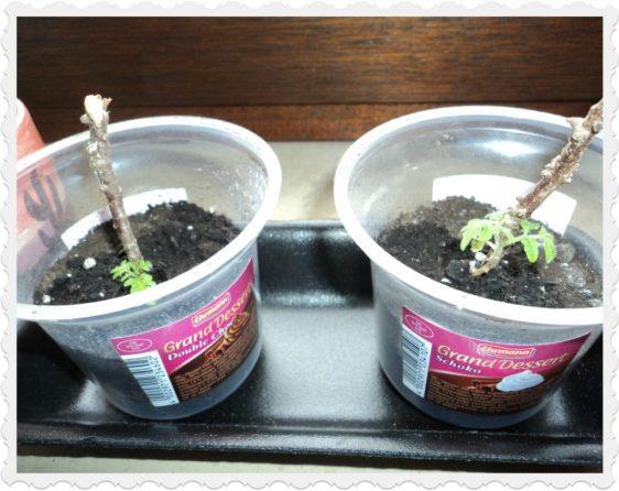 Induk Tomat Cerry Juli 2011