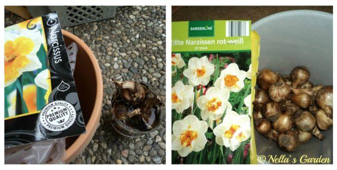 Bibit Umbi Bunga Narcissus