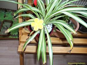 Spider Plant atau die Grünlilie. Ujung daun-daunnya Kering dan Rusak alias Berwarna Coklat
