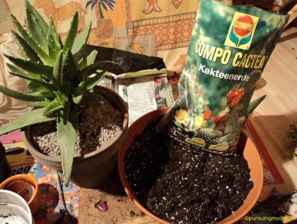 Aloe Vera atau Lidah Buaya Siap Dipisahkan dari Anakannya