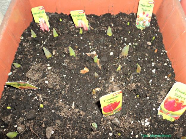 3 Macam Tulip beli dari Supermarket. Tulip ini Saya Tanam Bulan Oktober jadi Baru Umur 3 Bulan