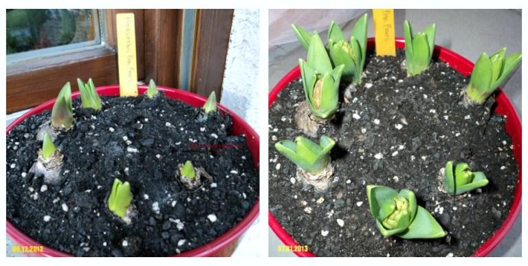 Menanam Bibit Bunga Hyacinthus. Hyacinth 'Pink Pearl' Usia 3 dan 4 Bulan