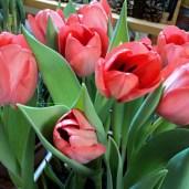 Tulip Darwin Hybrid warna merah muda . Kelopak Bunga selalu Mengahadap ke Arah Cahaya Matahari