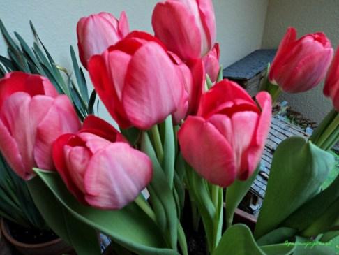 Tulip Darwin Hybrid
