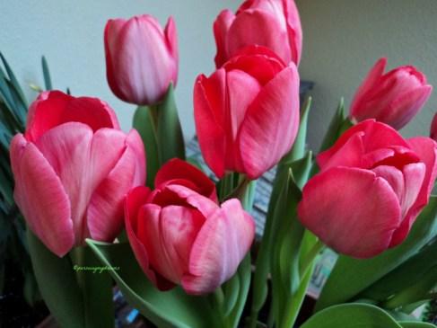 Tulip jenis Hibrida