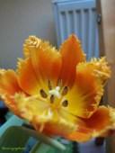 Tulip Triumph Di Pagi Hari Kelompaknya Membuka Lebar