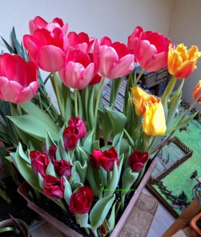 Kombinasi Tulip : Tulip Darwin Hybrid dan Tulip Triumph