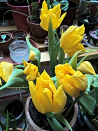 Yellow Tulips. Yokohama tulip
