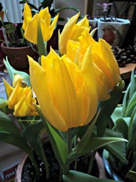 Yokohama Tulip Flower