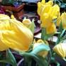 Tulip Warna Kuning