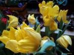 Yokohama Tulip