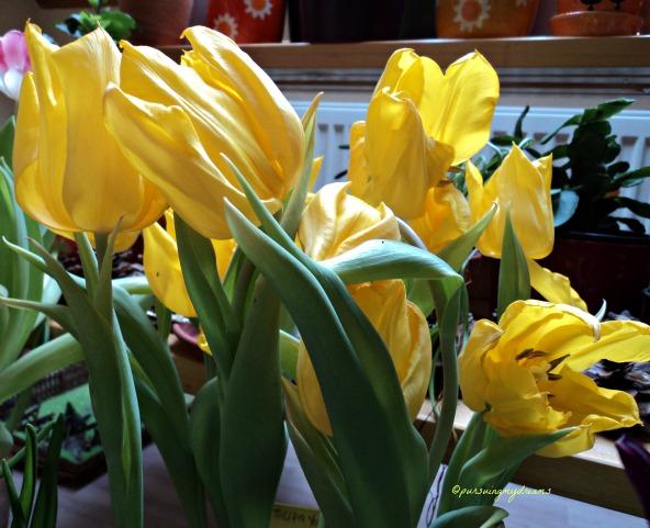 Tulip Yokohama Tulip Berbau Permen
