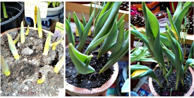 Mulai Terlihat Pertumbuhan yang Signifikan dari Tulip Yokohama.