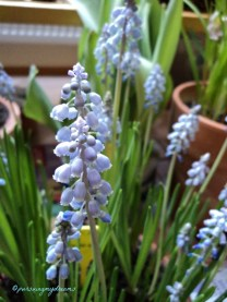 Vineyard Muscari Armeniacum