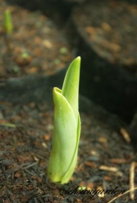 Tulip Milik Ichsan di Sleman, Jogya. Tulip di Indonesia