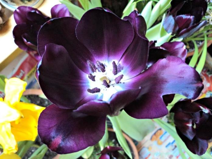 Black Tulip Photo