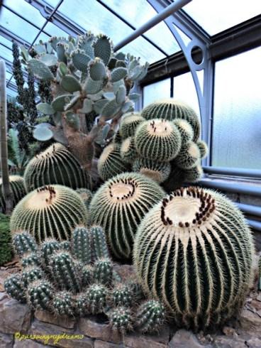 Yang bulat Besar namanya Schwiegermuttersessel aka Mother-in-Law's Cushion. Echinocactus grusonii Gileeee Besar sekali Kaktusnya, kira-kira berapa juta harganyanya