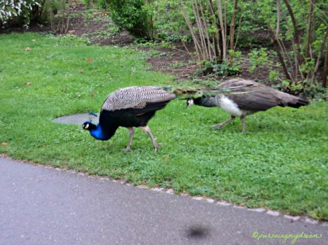 Burung Merak bukan ya. Pavo cristatus Merak Biru