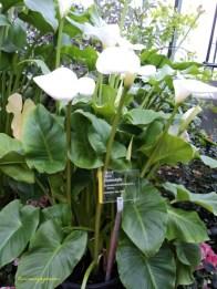 Calla Rumah aka Calla Lily, Arum lily. Zantedeschia Aethiopica. Afrikaans name meaning 'pig's ear