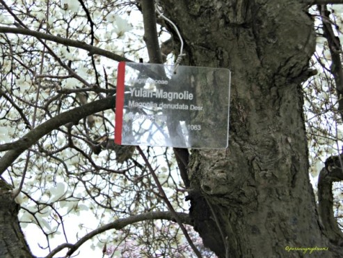 Yulan-Magnolie (Magnolia denudata)