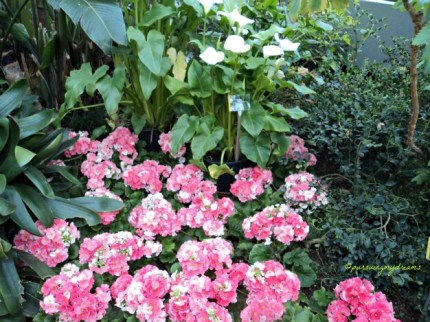 Agak Lupa apakah Bunga Primula ya