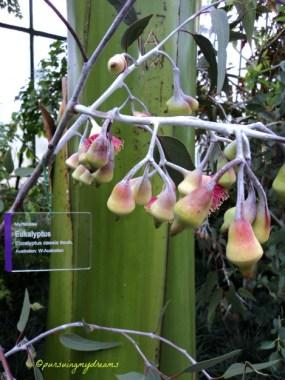 Eucalyptus Caesia Benth Asal Australia