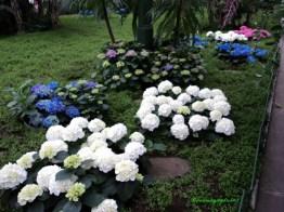 Hydragea atau di Jerman di kenal dengan nama Hortensia. Di foto berwarna Biru, putih dan Pink