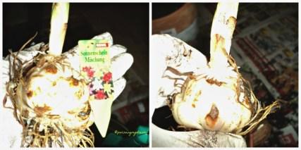 Umbi Lili Asiatic. Umbinya sudah mulai tumbuh harus segera ditanam. Maaf foto terlalu terang bliz kamera terlalu tajam