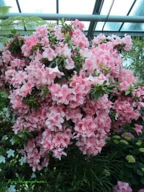 Azalea Pink Indah sekali. Wilhelma Stuttgart