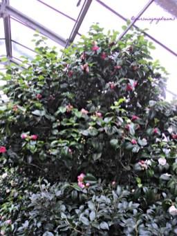 Kamelia adalah genus tanaman berbunga dalam keluarga Theaceae. Mereka ditemukan di timur dan selatan Asia, dari Himalaya timur ke Jepang dan Indonesia