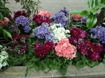 Bunga Primula. Becher-Primel