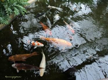 Ada kolam ikan mas. Ikannya besar-besar. Wilhelma Stuttgart