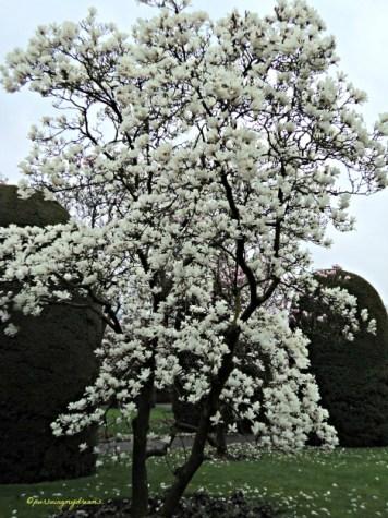 Magnolia Soulangeana Relatif toleran terhadap angin dan tanah Ber alkali