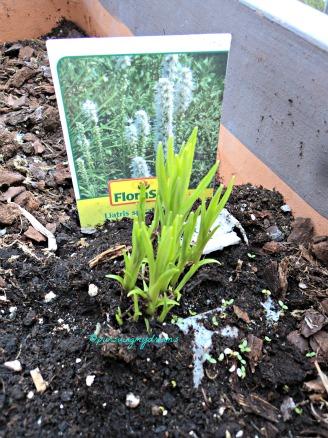 Liatris spicata warna Putih. Bunga ini menarik datangnya burung Hummingbird dan kupu-kupu