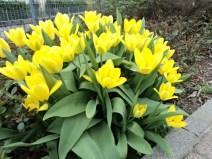 Coba Bawa gunting bisa petik Beberapa tangkai Tulipnya
