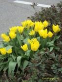 Lagi Tulip Kuning
