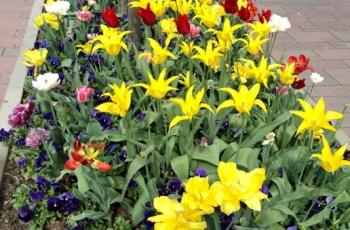 2 Minggu Kemudian Sim Salabim 8 Mei 2013 Wahhh Penuh Tulip yang Bermekaran