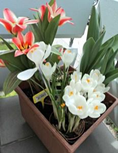 2 Macam Tulip Kombinasi dengan Krokus Putih