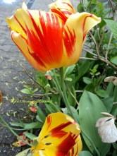Nah yang ini Tulip di depan Rumah Mama Mertua