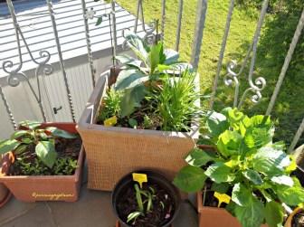 Tiga Pot Dahlia