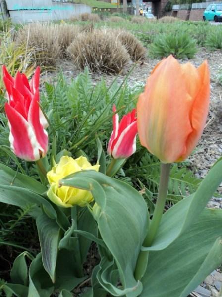 Beberapa Tulip Beda Warna