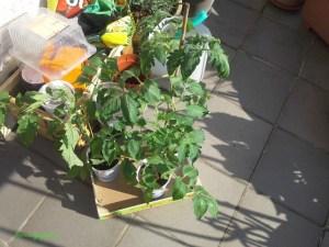 Tanaman Tomatku di Jemur Matahari dulu