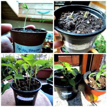 Pot untuk penyemaian saya gunakan yang kecil-kecil dulu, setelah tumbuh 4-6 daun baru saya pindahkan ke pot lebih besar