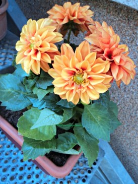 Bunga Dahlia Pendek