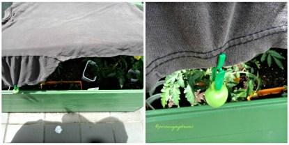 Greenhousenya di tutupi kaos dulu supaya tanaman tidak kepanasan. Kaosnya diberi pemberat supaya tidak terbang