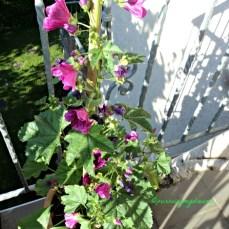 Malva sylvestris bibit dari tahun lalu. Bunga ini menarik perhatian lebah dan kupu-kupu