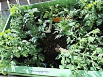 Tutup Green housenya sudah dilepas karena 4 tanaman tomat makin besar