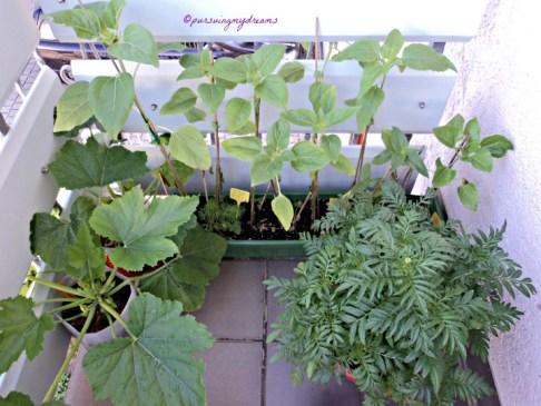 "Depan Bunga Matahari, kiri Zucchini Kanan Aztec marigold (Tagetes erecta) dalam bahasa Jerman disebut Studentenblume di Indonesia dikenal sebagai bunga ""tahi ayam"""