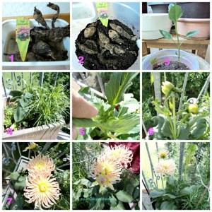 Menanam Bunga Dahlia Jenis Kaktus Park Princess dari Umbi hingga berbunga dengan indah. Foto Juli 2013